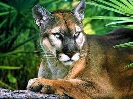 Panther Rip
